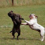 Male vs. Female French Bulldogs