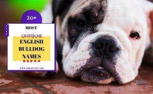 unique english bulldog names - featured image