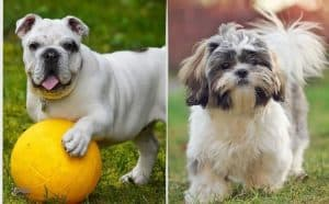 What About Bulldog and Shih Tzu Mix