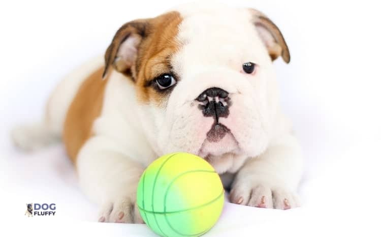 What To Keep In Mind While Buying The Best Collars For Your Bulldog Puppy