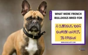 what were french bulldogs bred for - featured image