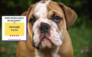 When-Do-Bulldogs-Heads-grow-7-Splendid-Facts-Featured Image