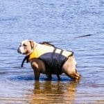 Why Can't Bulldogs Swim? 5 Top Reasons Why & Best 10 Life Vests