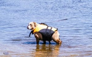 Why Can't Bulldogs Swim - featured image