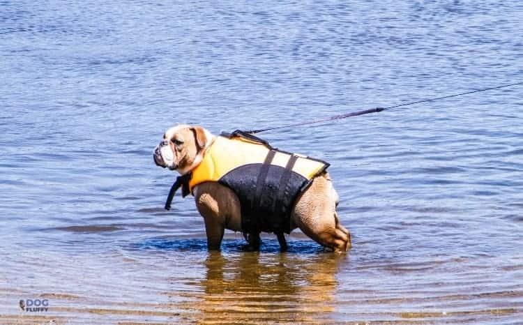 Why Can't Bulldogs Swim