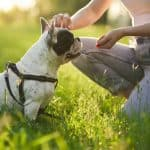 are French bulldogs easy to train