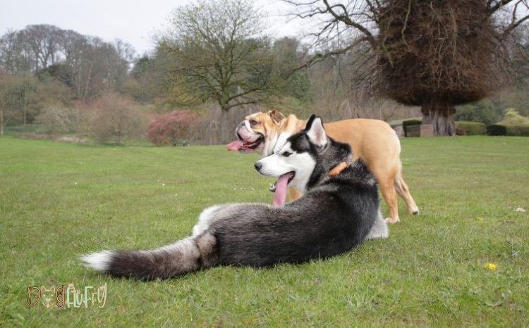 bulldog and husky mix Featured Image