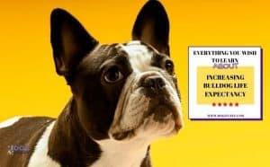 bulldog life expectancy - featured image