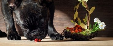 can French bulldog eat strawberries Featured Image