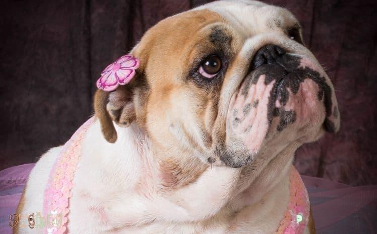female American bulldog name