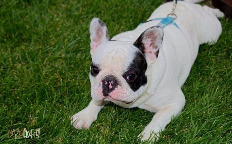 flea-treatment-for-bulldogs