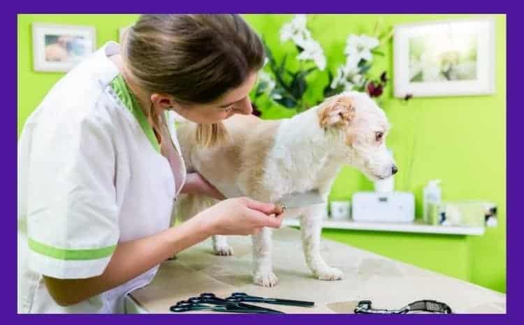 flea treatment for bulldogs - from where do bulldogs take in flea