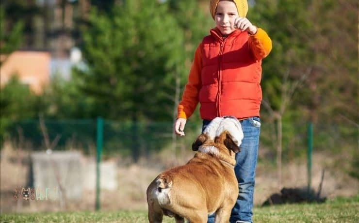 how to train an English bulldog
