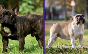 Male vs. Female French Bulldogs – 5 Significant Traits Featured image