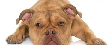 old English bulldog extinct Featured Image