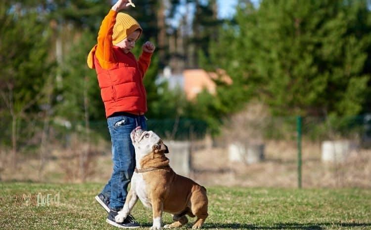 training English bulldogs 101