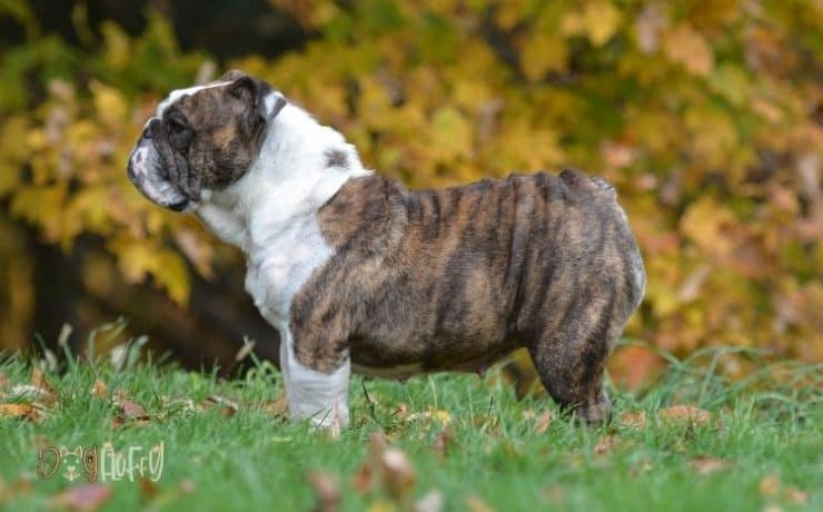 when do English bulldogs stop growing Featured Image