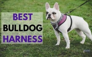 Best Bulldog Harness - Featured Image