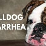 Bulldog Diarrhea – 5 Important Things You Need To Know
