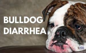 Bulldog Diarrhea - Featured Image