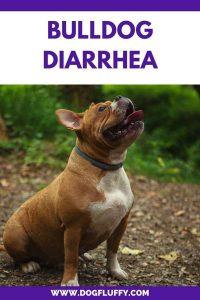 Bulldog Diarrhea PInterest Image 2