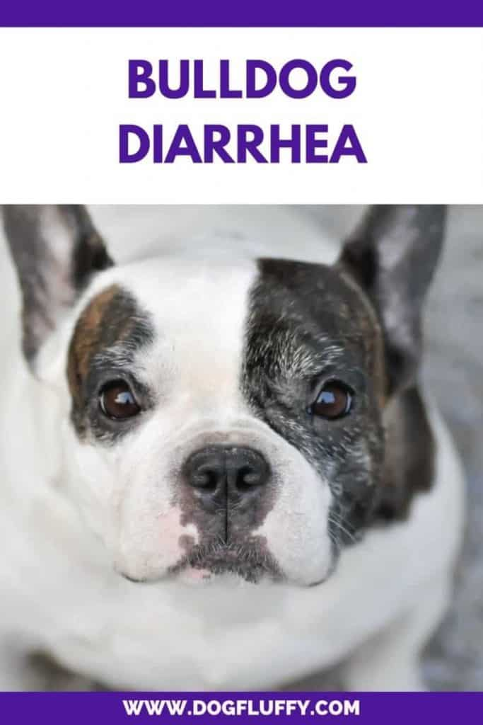 Bulldog Diarrhea PInterest Image