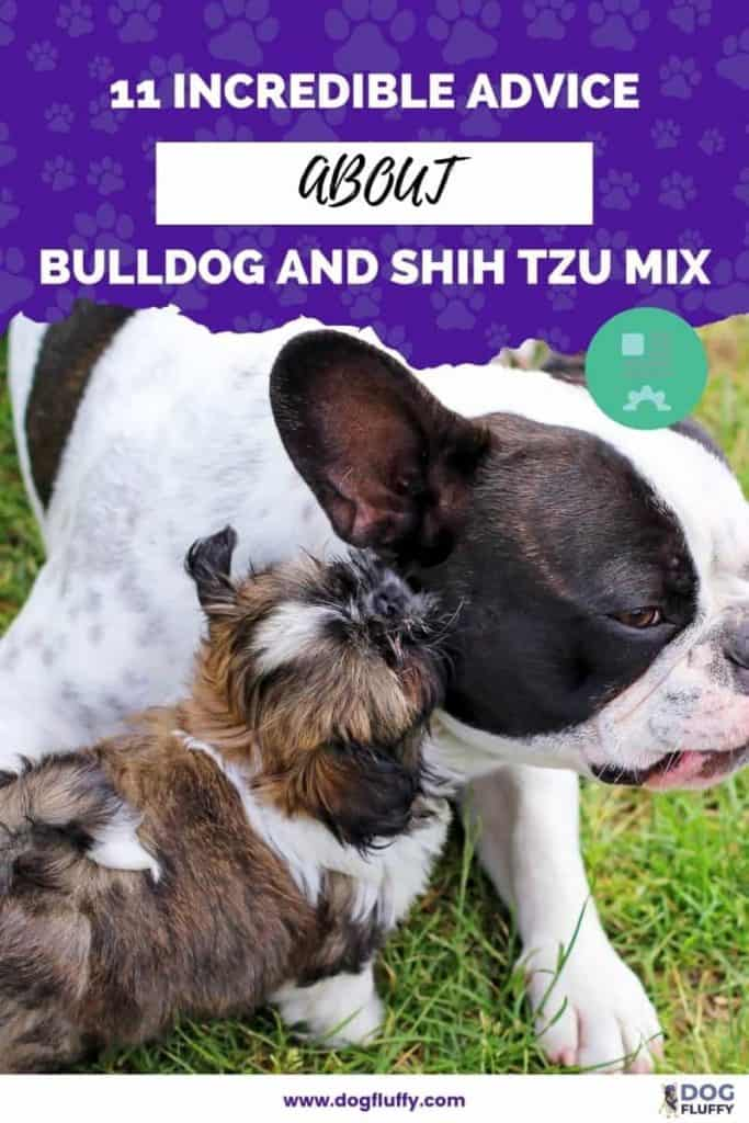 Benefits and Drawbacks Of Having A Bulldog and Shih Tzu Mix