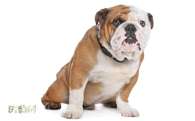 Bulldog diarrhea