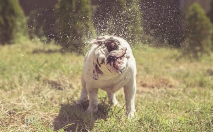 Bulldog head tremors Featured Image