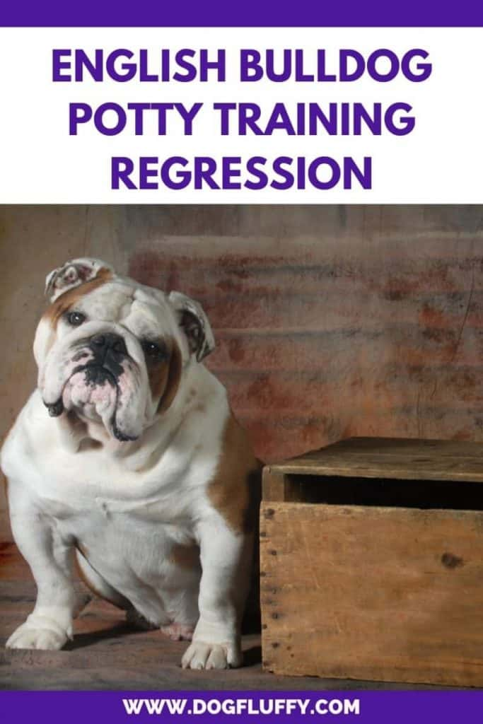 Conclusion on English Bulldog Potty Training Regression