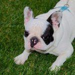 DIY outside bulldog toys Featured Image
