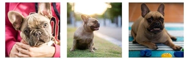 Dental hygiene in bulldogs