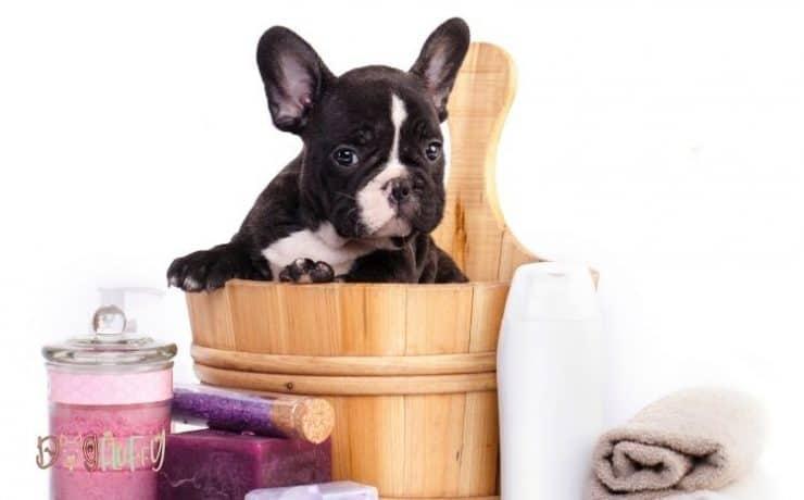 Flea shampoo for Bulldogs Featured Image