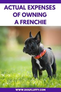 French Bulldog Price – Actual Expenses Of Owning A Frenchie