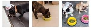 French Bulldog Price – Feeding