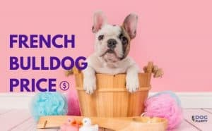 French Bulldog Price featured image