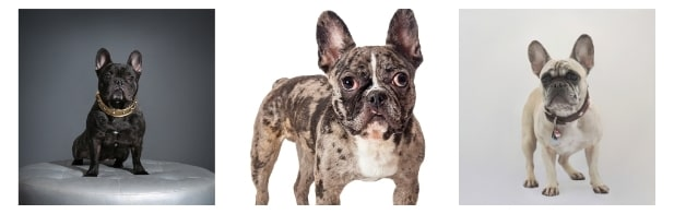 French Bulldog Price According To The Color