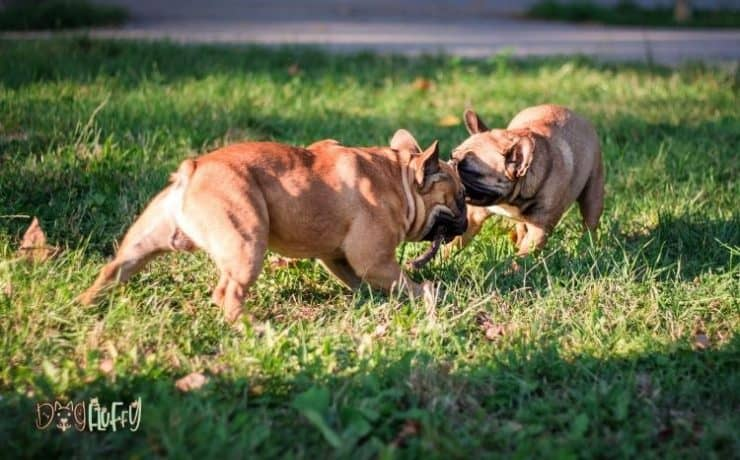 French bulldog aggression biting Featured Image