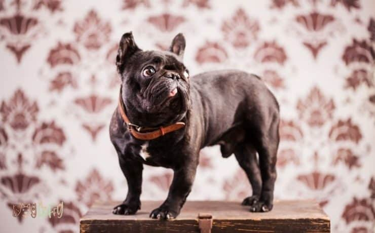 French bulldog crate size Featured Image
