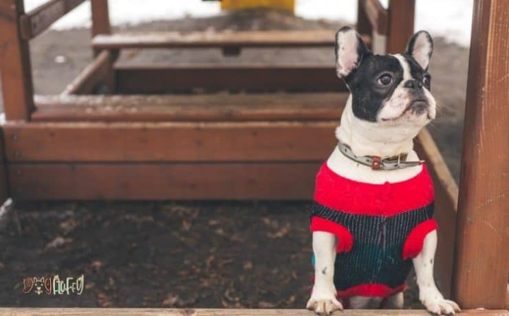 French bulldog outfits Featured Image