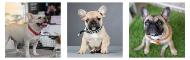 Frenchie doesn't need multiple varieties of collars and leashes