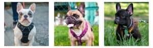 List of 3 Best Bulldog Harness