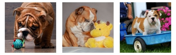Living With A Toy English bulldog