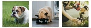Reasons for Bulldog Diarrhea