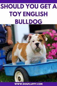 Should You Get A Toy English Bulldog