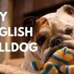 Toy English Bulldog: 10+ Awesome Revelations