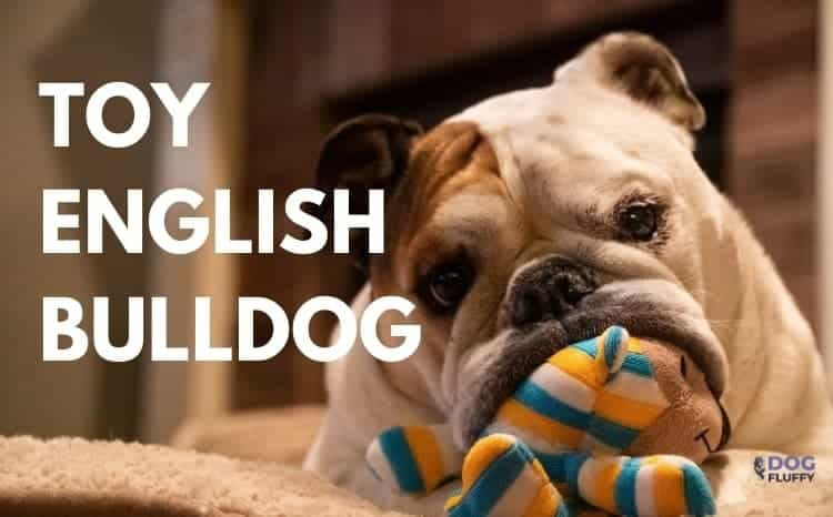 Toy English Bulldog