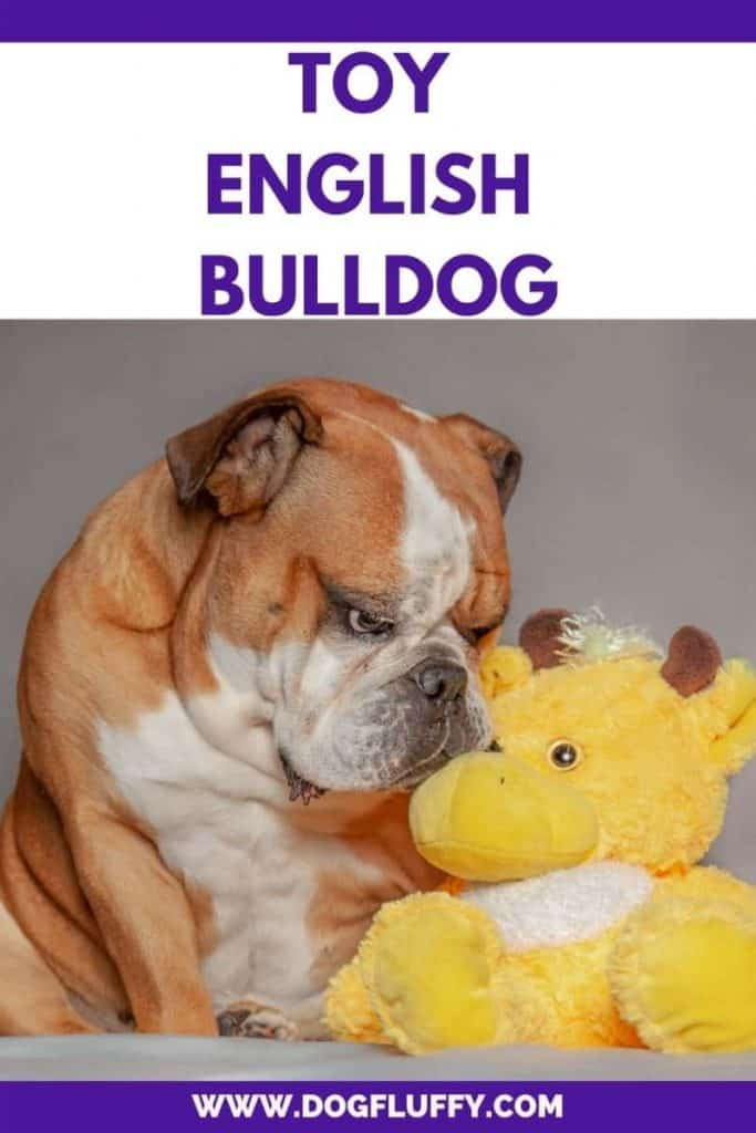 Toy English Bulldogs Pinterest