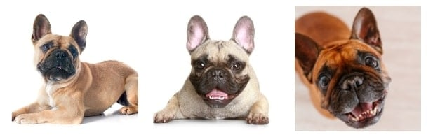 What Does Your French Bulldog Pet Insurance Cover