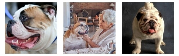 What makes it special from other best food for senior bulldog